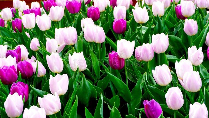 Розовый и фиолетовый тюльпан цветет в парке стоковые фотографии rf