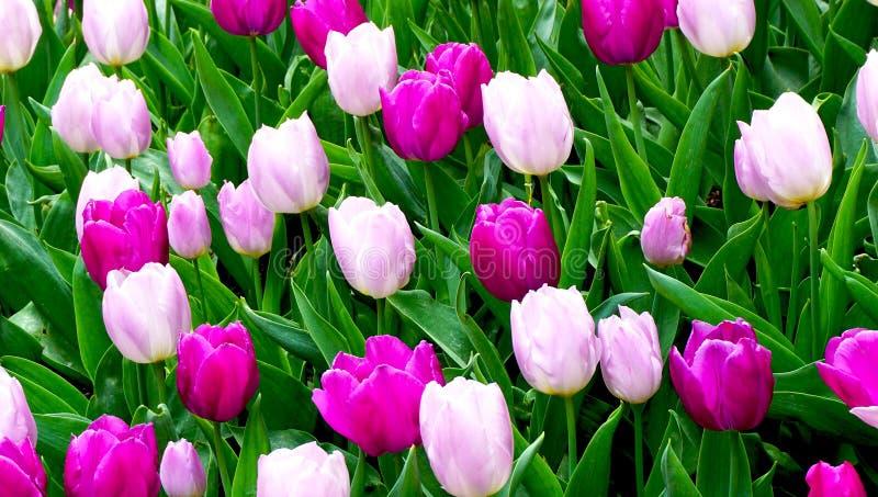 Розовый и фиолетовый тюльпан цветет в саде стоковое фото