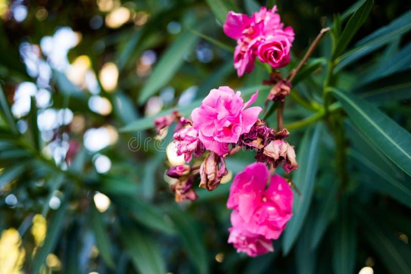 Розовый конец цветков лета стоковая фотография rf
