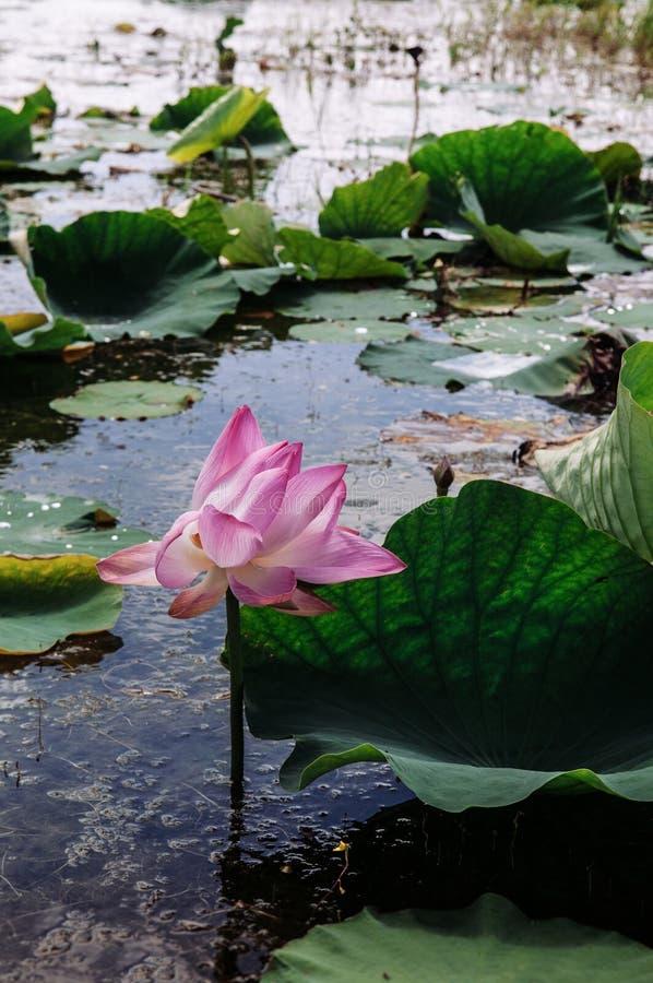 Розовый королевский цветок лотоса в запасе птицы Talay Noi, resevior озера Songkhla, Phattalung - Таиланде заболоченного места Ra стоковая фотография