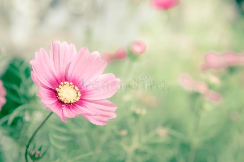 Розовый космос цветет, цветки цветения маргаритки в саде стоковое изображение