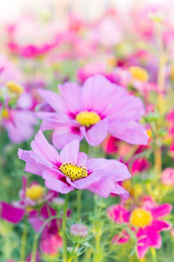 Розовый космос цветет, цветки цветения маргаритки в саде стоковое фото rf