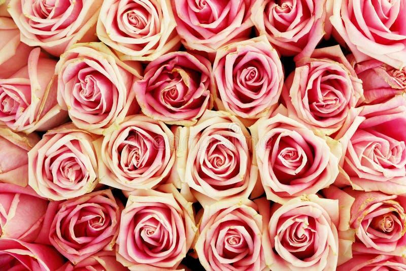 розовый, красный цвет и белая роза предпосылка и дизайн стоковые изображения
