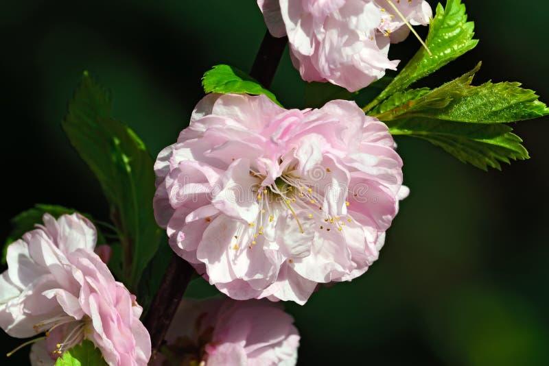 Розовый крупный план цветения миндалины стоковое фото