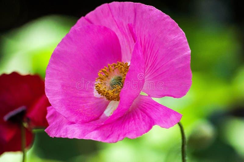 Розовый мак стоковые фотографии rf