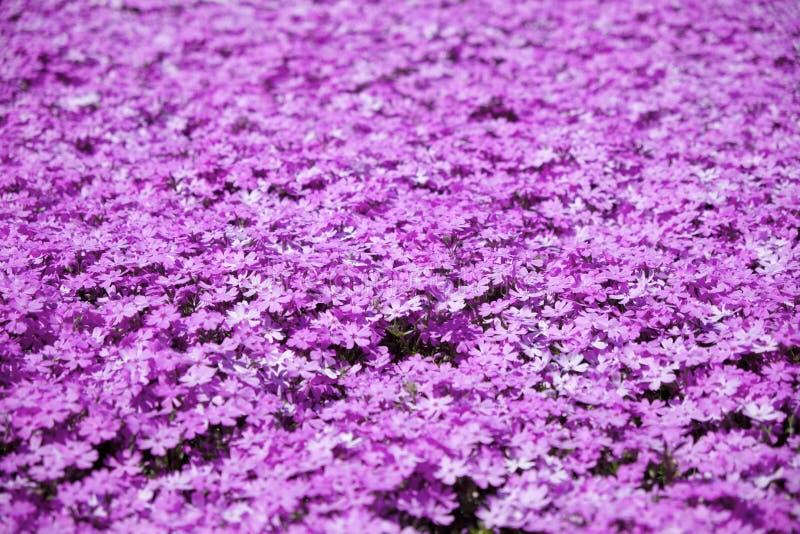 Розовый мох стоковые фотографии rf