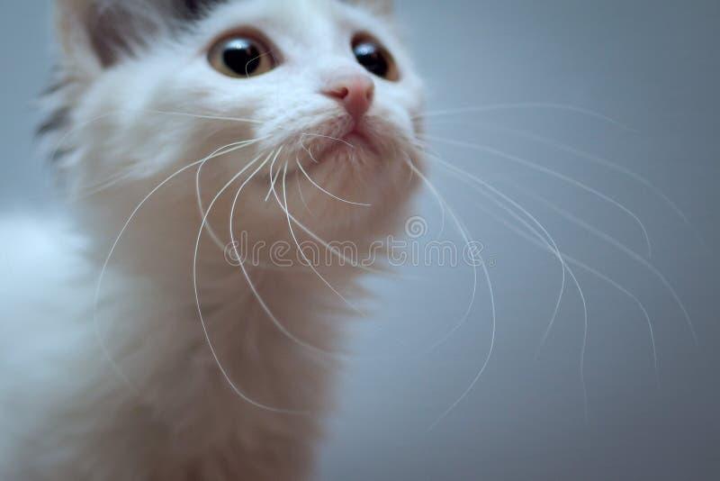 Розовый нос и пушистый белый усик малого котенка стоковые изображения
