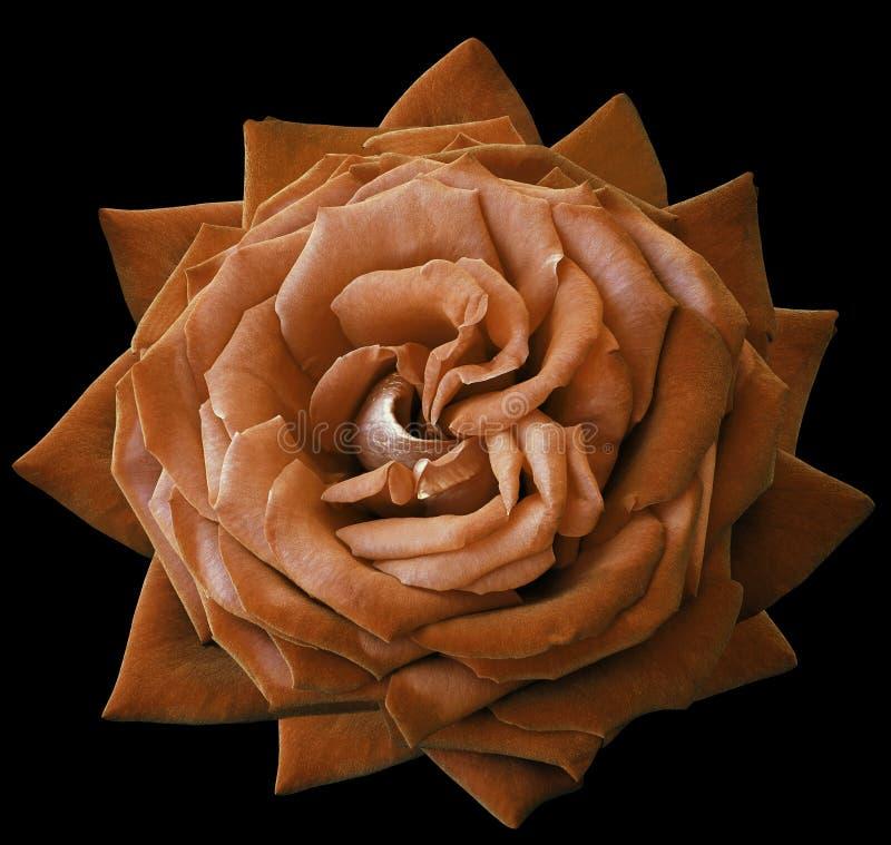 Розовый оранжевый цветок на черноте изолировал предпосылку с путем клиппирования Отсутствие теней closeup стоковые изображения