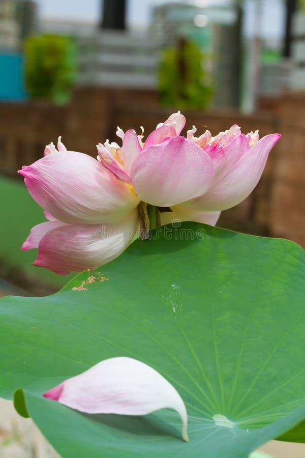 Розовый лотос в озере стоковые фото