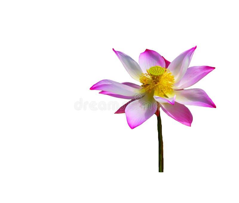 Розовый лотос на белом изоляте предпосылки стоковые фотографии rf