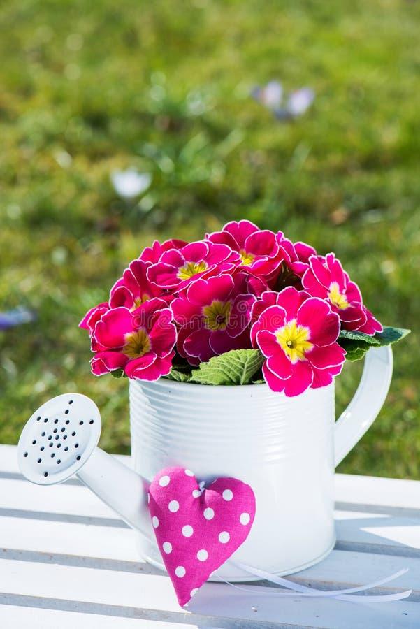 Розовый первоцвет стоковое фото