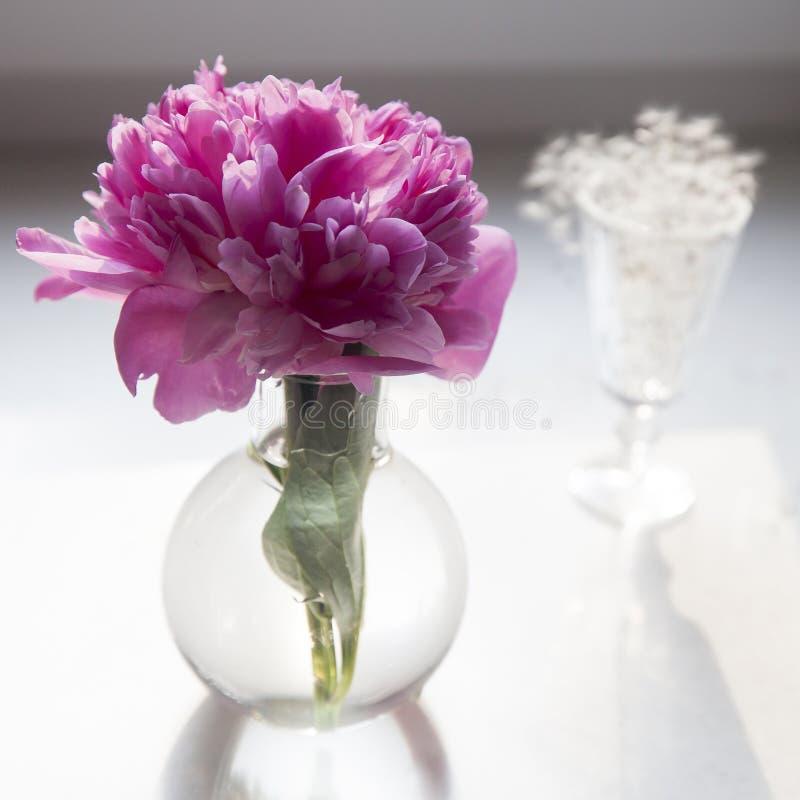 Розовый пион в прозрачной вазе на белой предпосылке стоковое изображение rf