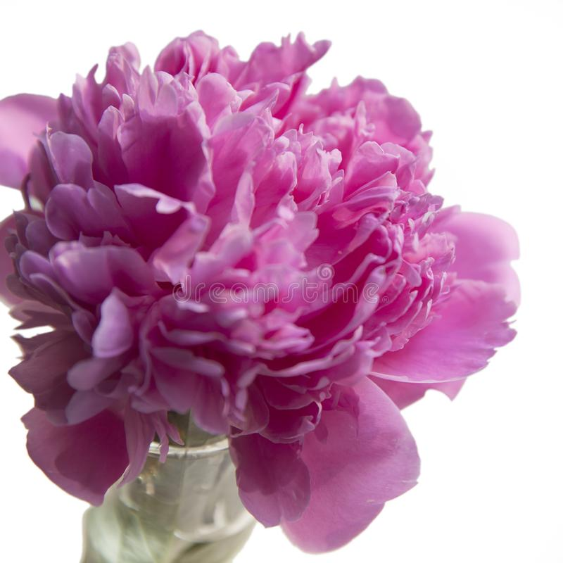 Розовый пион в прозрачной вазе на белой предпосылке стоковые изображения