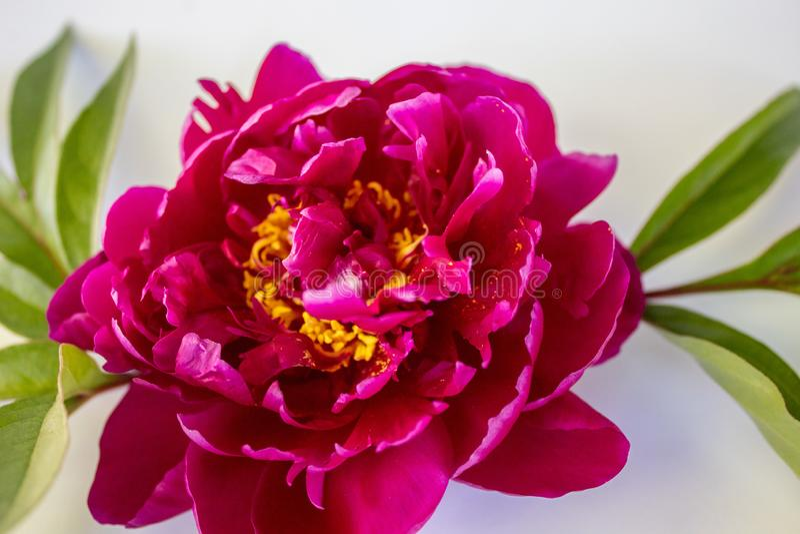 Розовый пион с зелеными листьями стоковое фото rf