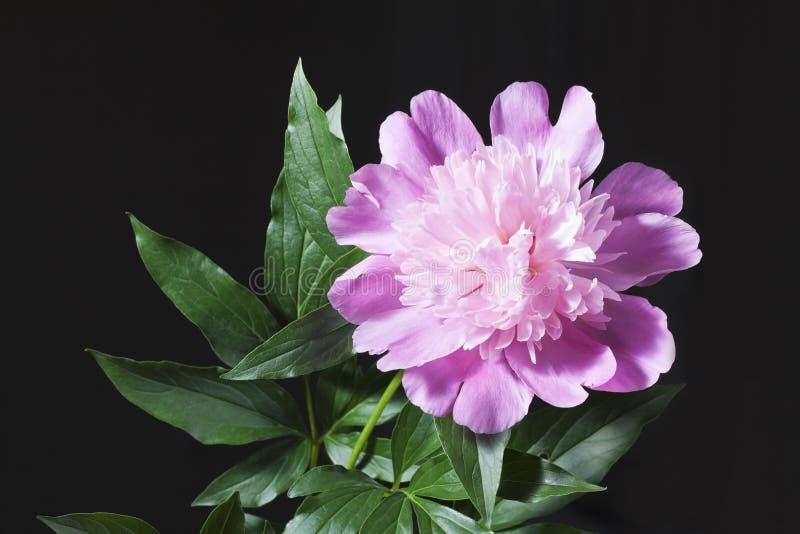 Розовый пион с листьями в черной предпосылке стоковое изображение rf