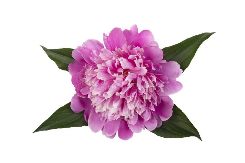 розовый пион с листьями изолированными на белой предпосылке стоковое изображение rf