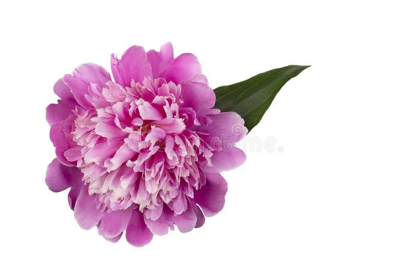 розовый пион с листьями изолированными на белой предпосылке стоковое изображение