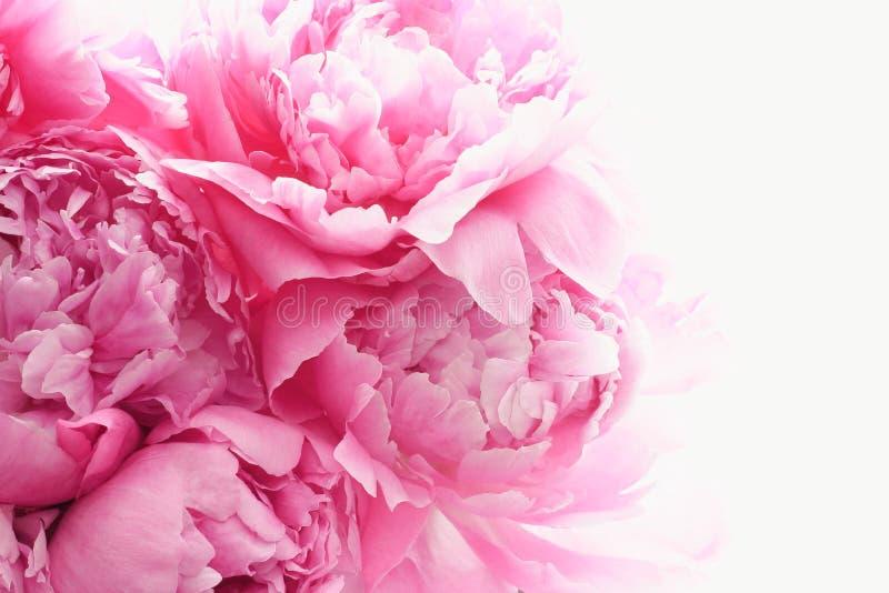Розовый пион цветет предпосылка стоковая фотография rf