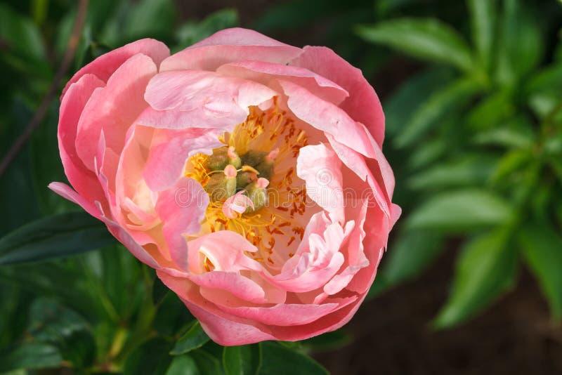 Розовый пион стоковая фотография