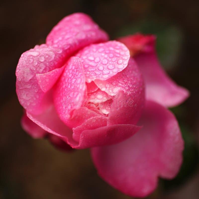 Розовый пион стоковое изображение rf