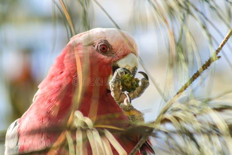 Розовый попугай стоковая фотография