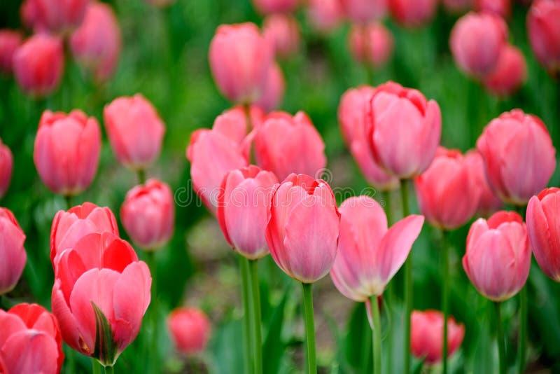 Розовый раскрывать тюльпанов стоковые фотографии rf