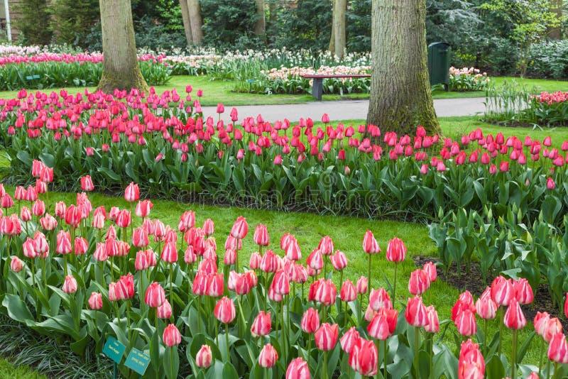 Розовый сад цветков тюльпанов стоковая фотография