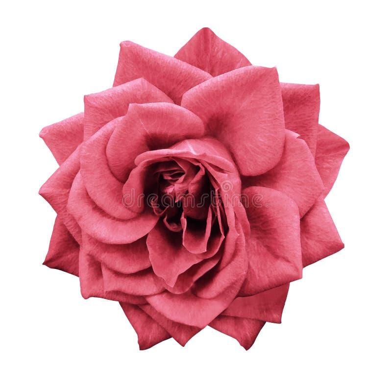 Розовый светлый красный цветок на белизне изолировал предпосылку с путем клиппирования Отсутствие теней closeup Для конструкции стоковое фото rf