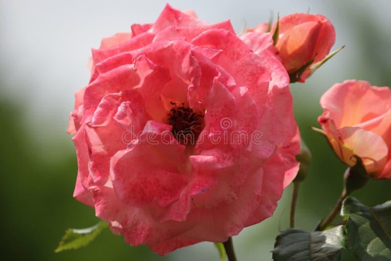 Розовый тип назвал Садовника Славу в конце-Вверх изолированную от rosarium в Boskoop Нидерланды стоковые фото