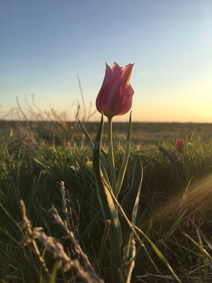 Розовый тюльпан в русской степи стоковое фото rf