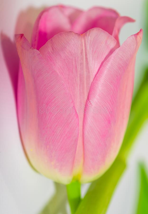 Розовый тюльпан Тюльпан пинка конца-вверх изолированный на белизне just rained r r стоковые изображения rf