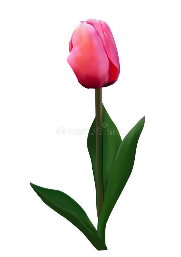 розовый тюльпан иллюстрация штока
