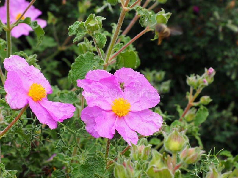 Розовый утес Роза или Cistus Creticus Крит Греция стоковая фотография