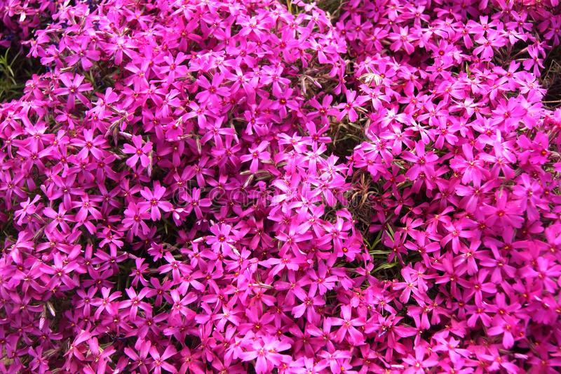 Розовый, фиолетовый флокс стоковые изображения