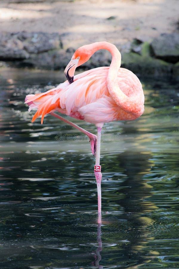 Розовый фламинго в воде стоковые изображения rf