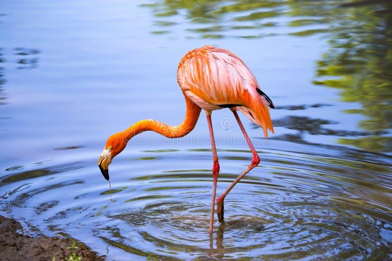 Розовый фламинго на пруде в природе стоковое изображение rf