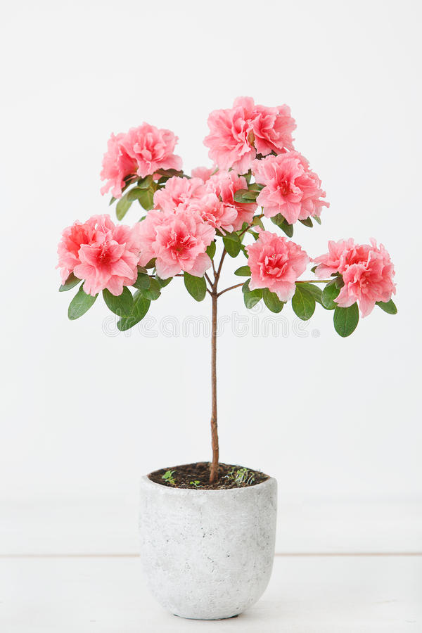 Розовый цветок азалии в конкретном баке стоковые фотографии rf