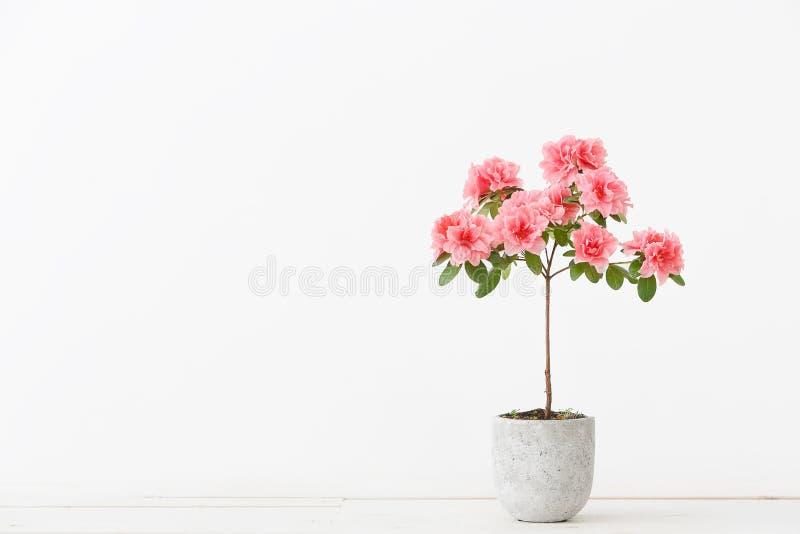 Розовый цветок азалии в конкретном баке стоковая фотография rf