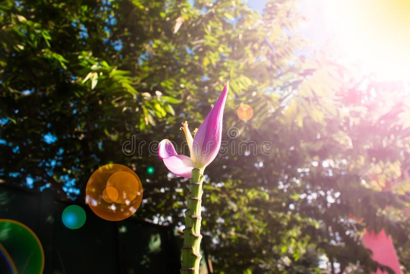 Розовый цветок банана красив с природой в Таиланде стоковое фото