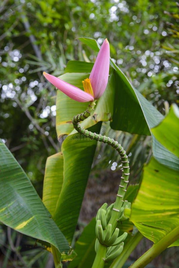 Розовый цветок банана красив с природой стоковое изображение rf