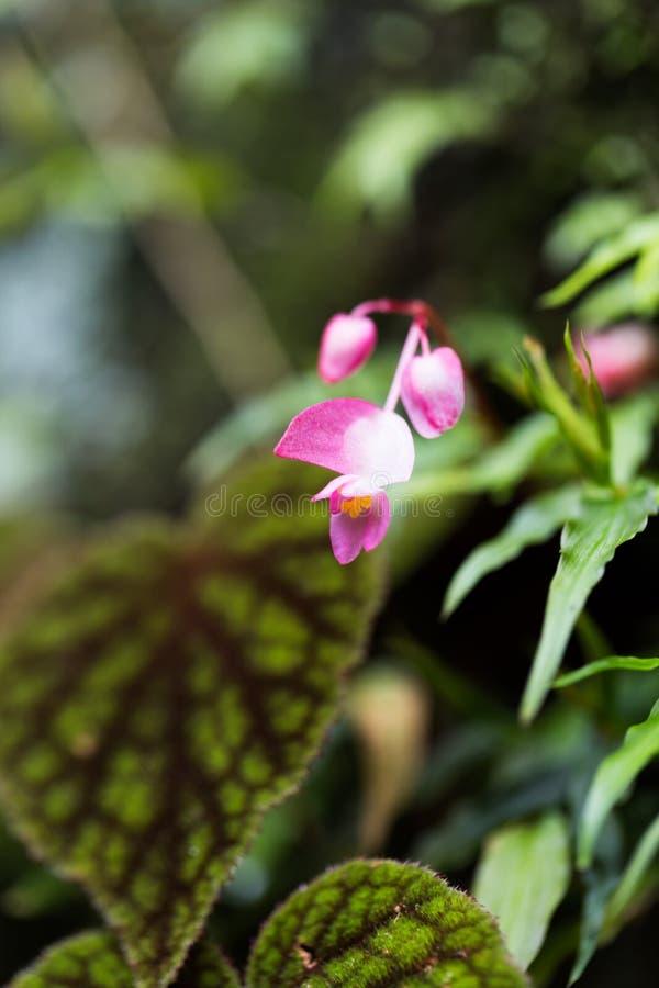 Розовый цветок бегонии в макросе стоковое изображение