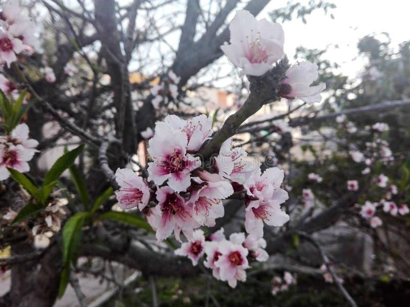 Розовый цветок весной стоковое фото rf