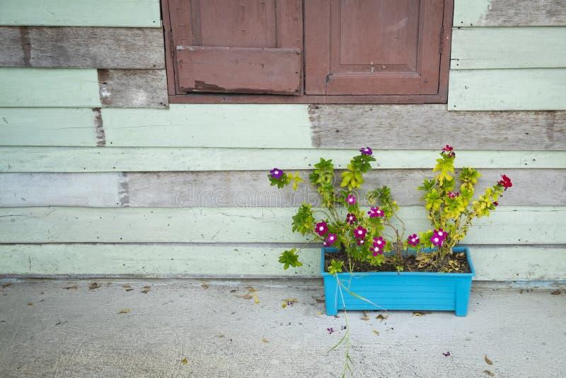 Розовый цветок в голубом баке около деревянной стены стоковая фотография