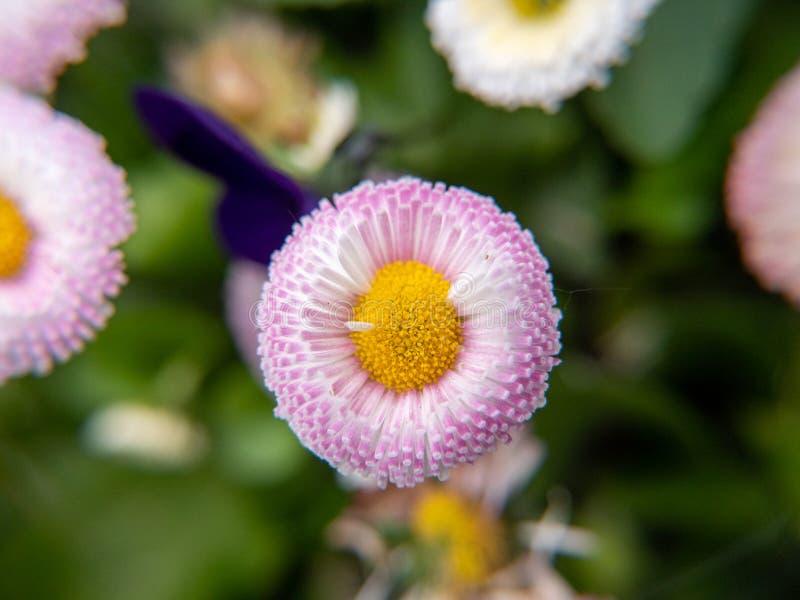 Розовый цветок в саде стоковое фото
