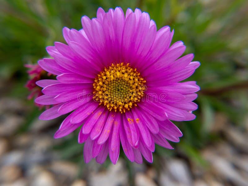 Розовый цветок в саде стоковое фото rf