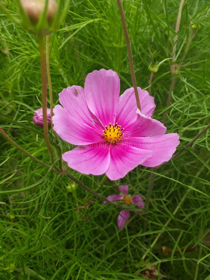 Розовый цветок в саде стоковые фотографии rf