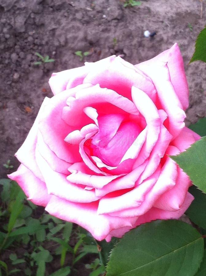 Розовый цветок в саде стоковое изображение rf