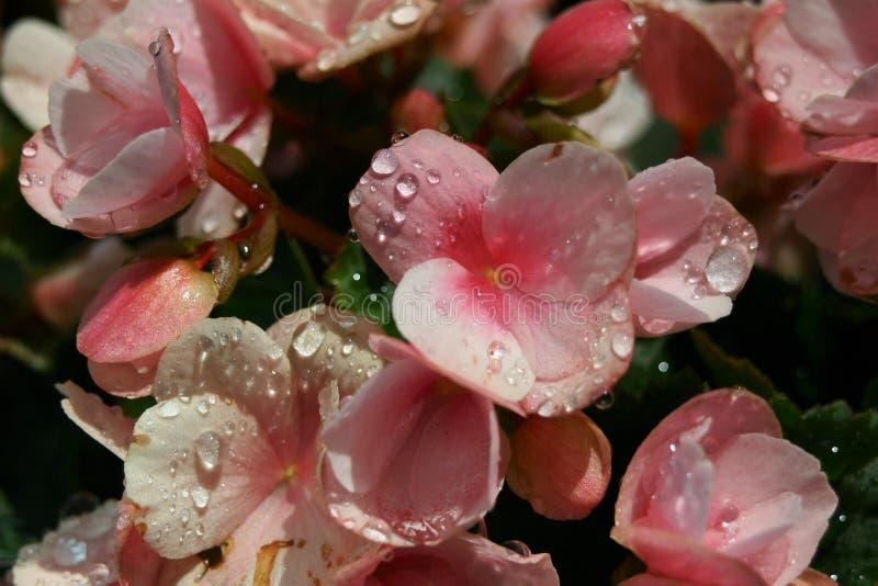 Розовый цветок в солнечности после дождя стоковое фото