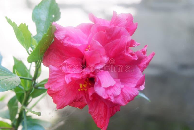 Розовый цветок гвоздики стоковое фото rf