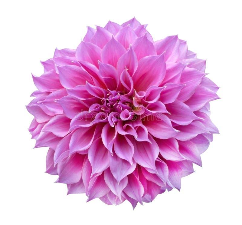 Розовый цветок георгина изолированный на белой предпосылке, пути клиппирования стоковые фотографии rf